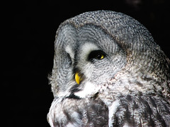 great grey owl - by hans s
