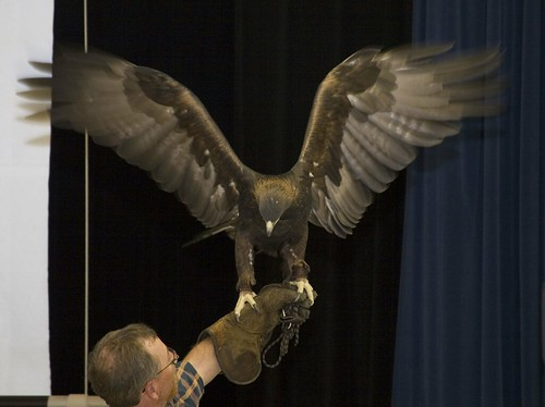 golden eagle bird. Female Golden Eagle Lola