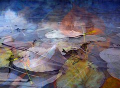 Still Life in Water (MaureenShaughnessy) Tags: autumn trees lake fall water 1025fav photoshop pond floating digitalpainting fallen utata layers transition colorsoffall digitalpaintings literaryreferenceinphotos changingseasons artlibre photoswithquotes utataleaf seasonalrhythmsfall