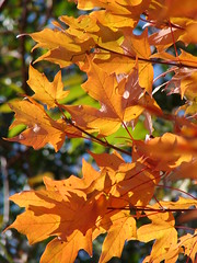 Lit leaves (bobtravis) Tags: dsch1 utatathursdaywalk utatathursdaywalk28