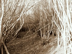 Willow Thicket (MaureenShaughnessy) Tags: autumn cold fall texture sepia montana seasons branches willows wetland thicket coldseason deertrail alittlebitscary idontwanttogointheredoyou seasonalrhythmstexturewinter seasonalrhythmswinter seasonaltexture