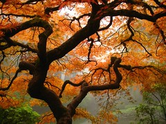 The famous maple (Just Peachy!) Tags: red orange tree oregon portland landscape japanesegarden maple bravo fallcolor quality branches interestingness1 japanesemaple washingtonpark magicdonkey i500 utmtapjg fivestarsgallery abigfave artlibre bestnaturetnc06 explore28oct2006 frhwofavs eliteimages fiveflickrfavs megatopofthefog