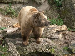 Brown bear at Hellbrunn Zoo