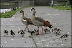 Can you believe it? (Edgar Thissen) Tags: autumn bird fall 20d nature netherlands birds canon geese rotterdam ducklings goose goslings chicks crooswijk egyptiangoose pgphotography 10741 edgarthissen fowlfeatheredfriends