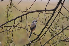 Back-to-Back (NotMicroButSoft (Fallen in Love with Ghizar, GB)) Tags: pakistan birds lanius laniusschach longtailedshrike