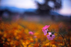 obeisance (moaan) Tags: life flower 50mm dof bokeh 2006 dreamy cosmos f095 fujiprovia100f canon7 rdpiii explored canonf095 inlife canon50mmf095 gettyimagesjapanq1 gettyimagesjapanq2
