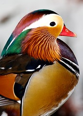 Mandarin Moment (Don Baird) Tags: portrait duck bravo close bokeh mandarin mandarinduck outstandingshots specanimal animalkingdomelite worldbest
