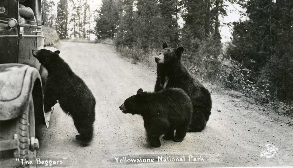 Bears and Old Car in Yellowstone Nationa by born1945, on Flickr