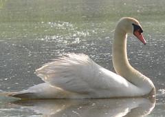 Muted Swan Crossing My Path (rivadock4) Tags: swan canoe muteswan southriver animalkingdomelite