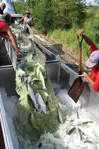 bangus sarangani davao del sur fish workers milkfish harvest Pinoy Filipino Pilipino Buhay  people pictures photos life Philippinen  菲律宾  菲律賓  필리핀(공화국) Philippines