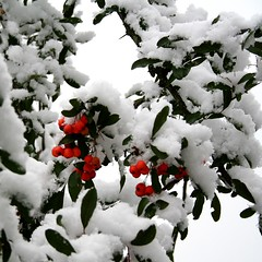 First Snow - IMG_1610-1 (Andreas Helke) Tags: schnee winter snow plant nature topv111 canon germany square deutschland blurry berry topv333 europa europe berries iso400 topv1111 natur pflanze fav20 pit explore 55mm utata fav dslr firstsnow popular fav30 canoneos350d f71 potential squared creidlitz twa 1100 canon1855 pyracantha quadrat fav10 firethorn candreashelke feuerdorn pi2 interestingness31 interestingness78 interestingness500 interestingness429 worldsfavorite canonefs1855mmf3556 i500 v3000 haslargesize 2006110681nogroups 200611062633comments2groupsutataandfirstsnow911hours 200611061130 200611061730123group 200611071154 20061108146510c pi5 explorepotential superbmasterpiece 0207top10 oldstileoriginalsecret 20071209127225 fav5andmore fav2andmore mymoreinterestingphotos invitedold canonportfolio