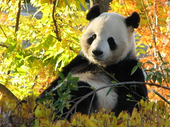 Relaxing on a sunny fall day (The Brit_2) Tags: autumn fall nature colors giant zoo dc washington panda tian national endangered pandas tiantian specanimal anawesomeshot fcawinner