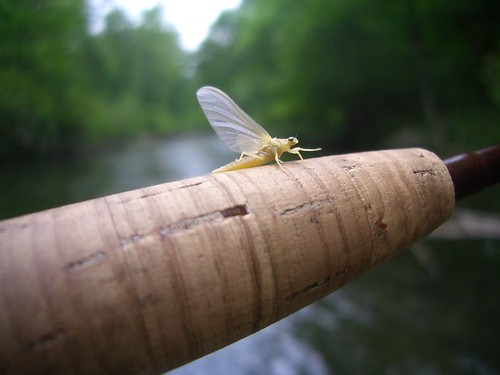 Gunpowder River Sulphur Mayfly
