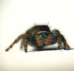 I've got my eyes on you (Gigapic) Tags: usa macro oregon jumping unitedstates specanimal diamondclassphotographer superhearts