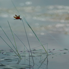 Lilly Pads and Dragonfly (lynne bernay-roman) Tags: sunset water pond dragonfly lillypad naturesfinest