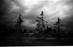 Three trees (freddyfreeloader) Tags: bw mountain film nature norway 35mm norge 50 ilford yashica redfilter hoya panf hedmark ringsaker ljsheim ljsvatnet ljsvannet