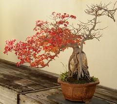 Bonsai Trident Maple (Cowtools) Tags: autumn red tree fall washingtondc dc washington maple bonsai dcist nationalarboretum october2006 tridentmaple