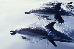 Pacific Reflections (fotolen) Tags: love nature bravo commondolphins naturesfinest nikonstunninggallery