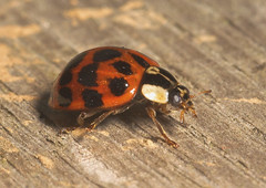 """Harlequin Ladybird (Harmonia axyridis(1) • <a style=""""font-size:0.8em;"""" href=""""http://www.flickr.com/photos/57024565@N00/295337371/"""" target=""""_blank"""">View on Flickr</a>"""
