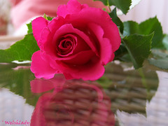 A Birthday Rose... (welshlady) Tags: birthday trees red flower nature rose wow ilovenature memorial kodak 100views bloom 400views 300views 200views bandstand florafauna excellence standingovation captainscott top20macroshots welshlady amateurhour theworldthroughmyeyes abigfave