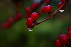 Rainy Day Berries  (mightyquinninwky) Tags: autumn 30 ilovenature pod perfect berries dof bokeh 10 kentucky 321 explore 25 500 20 inspire 31 creamofthecrop 1000 cf raindrop carpediem 1on1 colorsoflife 15faves helluva 2for1 naturepix thebigone addone 5faves lookatmypics 123nature thecontinuum 10faves amateurhour 2on2 35faves 1on1objects 1on1macros twtme add1fave1 ahappyending 25faves mnfg 123ac commentscommentscomments bokehss bokehlicious 123npdl 123friends bonzagallery p1f1 cotcbestof2006 royalgroup karmapotd generouscomments ci33 123ndpl bokehdof diamondstars mosfotogarten karmaphotooftheday shiningstar fundamentalfantasticphotography llovemypics worldnaturewildlifecloseup photographersgonewild jasonpresser flickrpopularphotographer kornrawieegallery flickrianworld faveanother 11223344556677 exploreformyspacestation