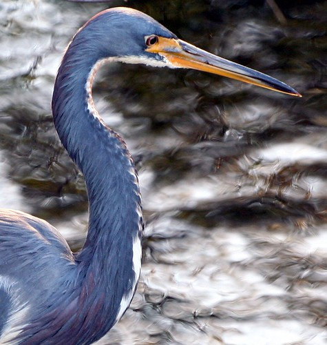 Tri Color Heron Portrait