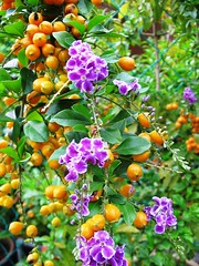 Duranta erecta 'Sweet Memories', captured in November 9, 2006