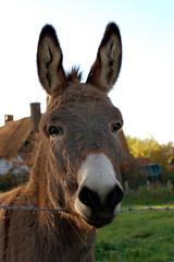 Inquisitive donkey (doow.) Tags: autumn field animal d50 50mm countryside kent walk donkey ears nikond50 esel