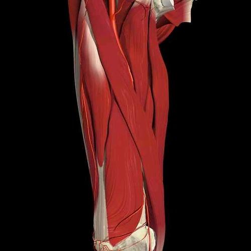 Quadriceps #2