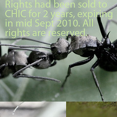 Ant antfight (InSectHunter) Tags: old boy motion macro male green girl animal sex female canon bug naked nude insect photography singapore southeastasia dynamic bokeh critter ant small young 100mm organ micro malaysia canon350d existinglight usm fighting botanicgarden tropics nakedness arthropod insecto singaporean abdomen insecta nakedly insecthunter 100mmusmmacrocanon