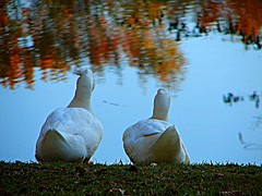Best Friends for Life... (j_jyarbrough) Tags: usa fall nature reflections georgia bravo ducks specnature jjyarbrough thankfulforfriends dothesefeathersmakemybuttlookfat haveawonderfulblessingfilledday sunsetoflife thisphotoisthepropertyofjjyarbroughjohnyarbroughpleasedonotusewithoutmypermissionthankyou