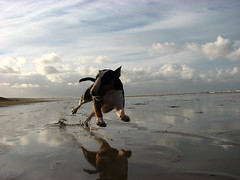 Whoohoo! (Patty Peets) Tags: english beach strand bull pixie terrier ijmuiden abigfave