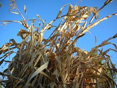 Stalking Corn
