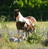 mother and child (neulands) Tags: horses horse cheval pferde foal fohlen stute