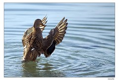 La danse des canards... (Lionoche) Tags: duck canard colvert i500 canardcolvert interestingess9 abigfave