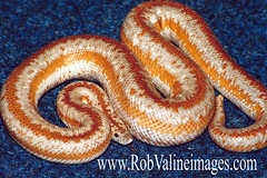 San Gabriel Mountain Rosy Boa (rob_valine) Tags: pets nature animals wildlife snakes reptiles kodakgold100 boas photoshopelements20 yashicafx3super2000 colorphotoaward eliteimages yashica75200mmf4556macro tiffen1closeup rosyboas unlimitedphotos tiffen81awarmingfilter yashicacs15flash