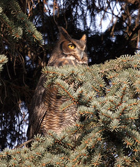 ...Finally... ! ... (Random Images from The Heartland) Tags: chris bird nature birds southdakota wildlife aves raptor bailey birdsofprey greathornedowl bubovirginianus chrisbailey chrisbaileyimages