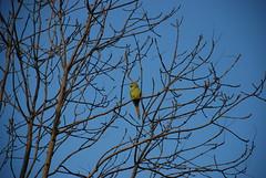 Ringneck parakeet (Miek37) Tags: blue holland green nature netherlands dutch nikon parakeet schiedam nikor d80 nikond80 18135mmf3556g