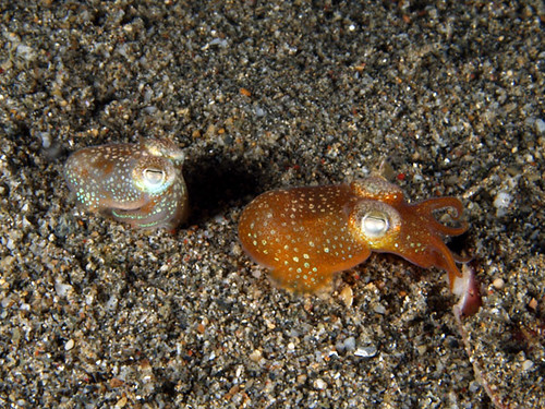 Mr. and Mrs. Bobtail squid