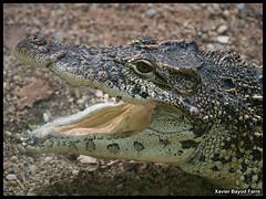 Cuban crocodile (Xavier Bayod Farr) Tags: barcelona animal animals fauna zoo tiere reptile cuba cocodrilo crocodile xavier cuban animalia tier crocodylus olympuse500 xbf bayod zoobarcelona farr rhombifer zoolgic xavierbayod zoolgicdebarcelona xavierbayodfarr