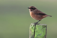 Stonechat (Saxicola torquata) (Foto John) Tags: nature birds female canon ilovenature raw belgium vogels blankenberge belgi natuur westvlaanderen vrouwtje saxicolatorquata commonstonechat polders passerine eos30d uitkerksepolders roodborsttapuit