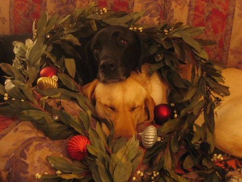 yellow and chocolate lab - Christmas