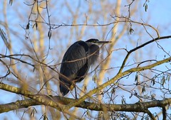 Great Blue Heron (careth@2012) Tags: greatblueheron nature wildlife bird beak feathers branches winter