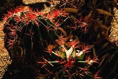 Red Spine Cactus (Pritha Photography) Tags: vintagelens vintagelensphotograhy helios44 mflens mflenses nature cactus arizona arizonacactus