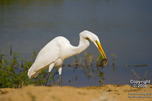 IoB-Great Egret eating fish / Tony Rath