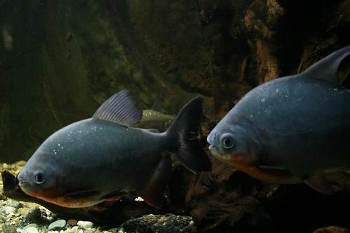 Piranhas... ooohh