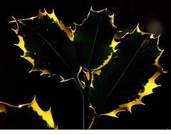 holly (algo) Tags: garden photography topf50 topv555 bravo holly blackground backlit outline spikey algo abigfave