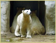 polarbear waiting (patries71) Tags: bear white beer zoo polarbear wit ijsbeer ouwehands dierentuin dierenpark s5600 patries71