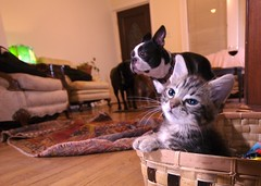 RAW Dogs 7  (131).png (blogjam_dot_org) Tags: dog bostonterrier houston montrose hawthorne kt peabo misterpeabody kittentown 77098