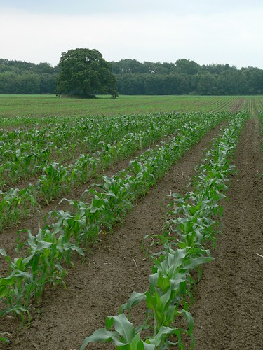 Hadley Corn
